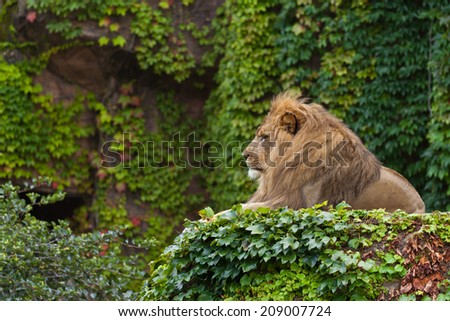 Male Lion. Lincoln Park Zoo. Chicago, IL. - stock photo