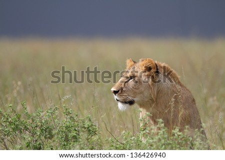 Male lion looking in the grass with dark sky - stock photo