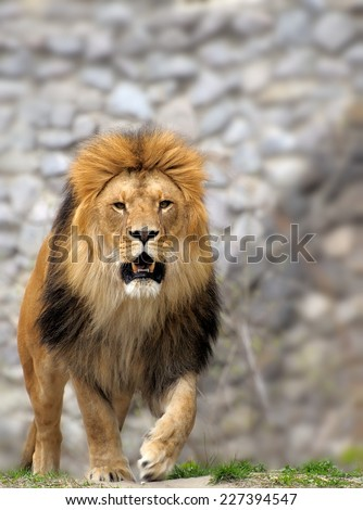 Male lion looking out atop rocky outcrop.