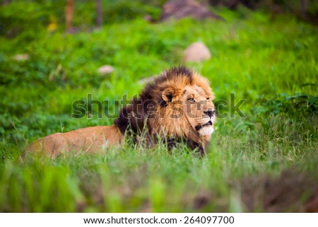 Male lion lying down in green grass.  Zimbabwe Africa. - stock photo
