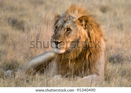 Male lion lying in the grass, Etosha National Park, Namibia