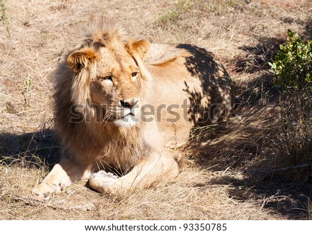 Male Lion lying in the grass with attentive look and ears