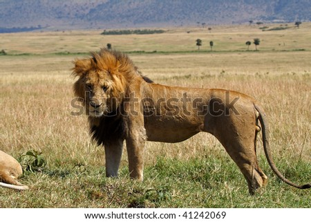 Male lion, Masai Mara, Kenya