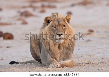 Male Lion, Nxai Pan National Park, Botswana - stock photo