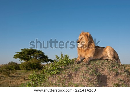 Male lion on top of termite mound - stock photo