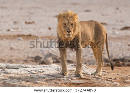 Male lion (Panthera leo) standing on a rock - stock photo