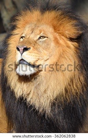 Male Lion portrait - stock photo