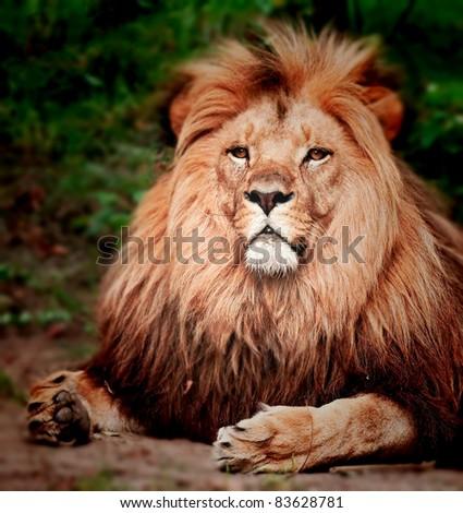 Male Lion Portrait - stock photo