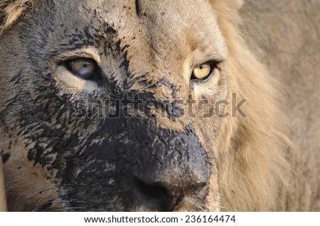 Male lion portrait with mud on its face. Moremi National Park, Khwai area.