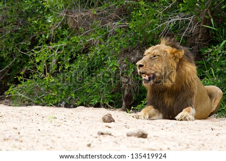 Male lion rest on river bed white sand looking relax - stock photo