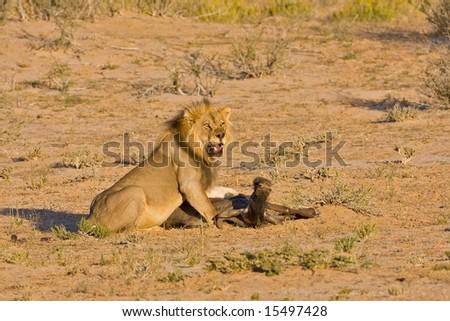 Male lion resting after the kill; Panthera leo; Kalahari desert; South Africa - stock photo