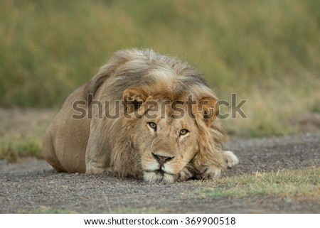 Male Lion resting in the Serengeti National Park, Tanzania - stock photo