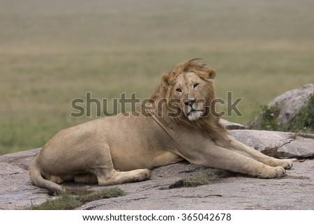 Male lion resting on granite outcrop in Tanzania - stock photo