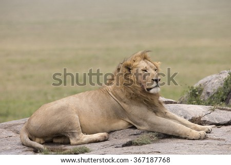 Male lion resting on granite outcrop in Tanzania - stock photo