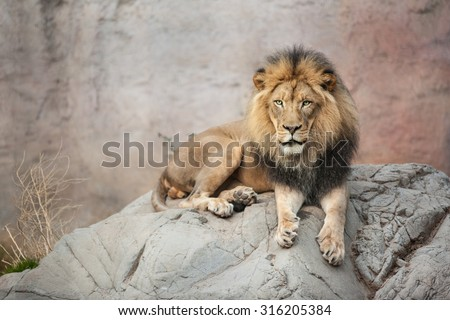 Male lion sitting on the big gray rock - stock photo