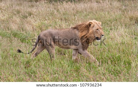 Male lion staling his prey through the grass - stock photo