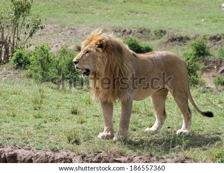 Male Lion standing on the plains of the Masai Mara in Kenya - stock photo
