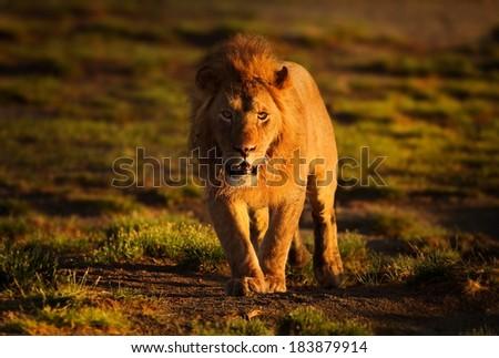 male lion walking - stock photo