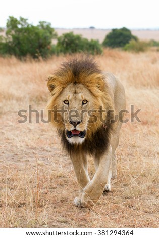 Male lion walking towards to the photographer, Masai Mara, Kenya, Africa - stock photo