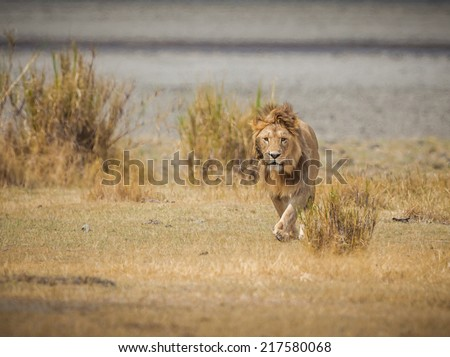 Male lion walks toward camera in the wilds of Africa - stock photo