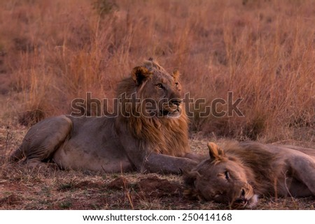 Male lion watches brother  - stock photo