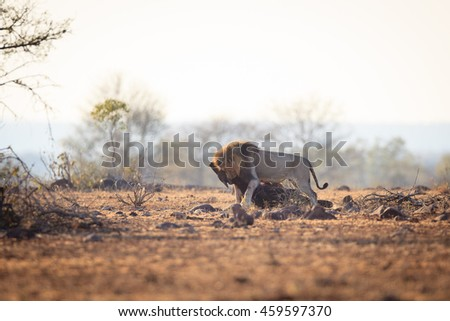 Male Lion with a kill