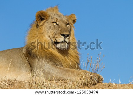 Male lion with blue sky - stock photo