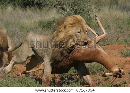 Male Lion with Impala Kill - stock photo
