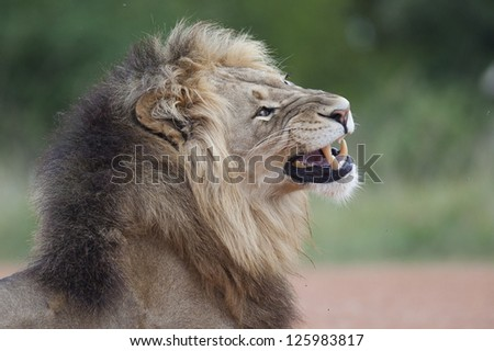 Male lion yawning, Addo Elephant National Park, South Africa