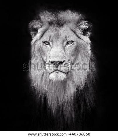 male lions face. - stock photo