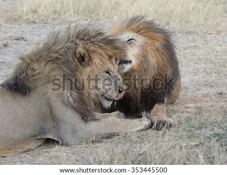 male lions grooming each other,Tanzania