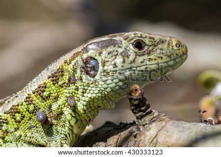 Male lizard, macro shot