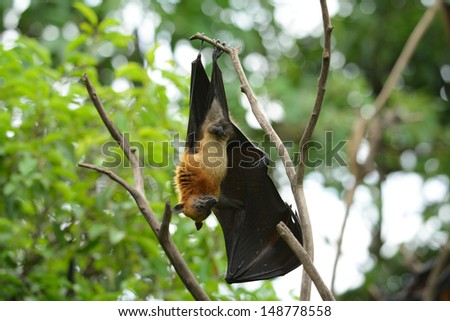 male lyie's flyingfox sleeping in the tree
