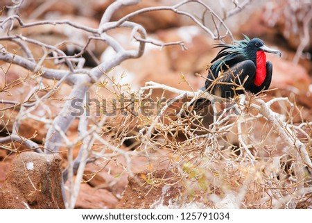 Male magnificent frigatebird at Galapagos Island of  North Seymour - stock photo