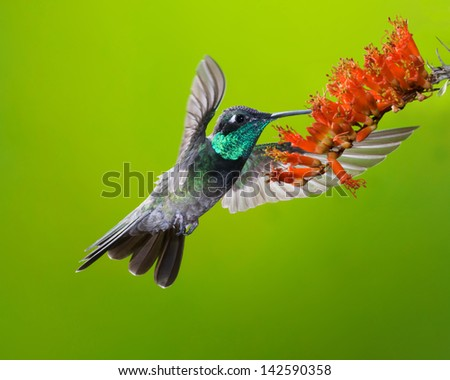 Male Magnificent Hummingbird - stock photo