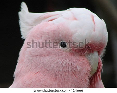 male major mitchell cockatoo - stock photo