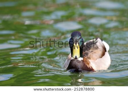 male mallard duck ( Anas platyrhynchos )  swimming on lake surface - stock photo