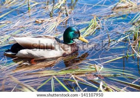 Male mallard duck (Anas platyrhynchus) - stock photo