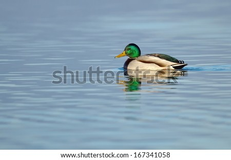 Male mallard duck floating quietly on the water pond - stock photo