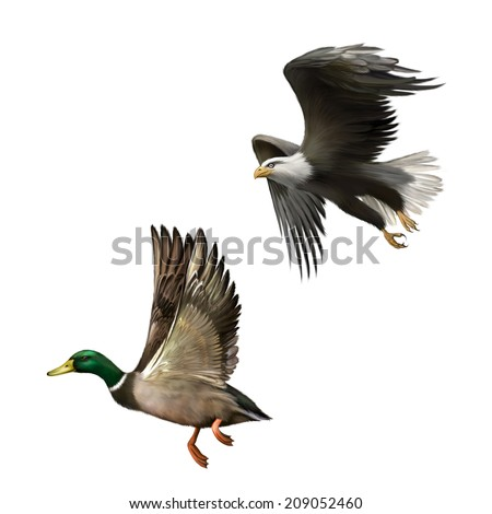 Male Mallard Duck Flying, illustration of american bald eagle in flight isolated on white background - stock photo