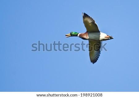 Male Mallard Duck Flying in a Blue Sky - stock photo