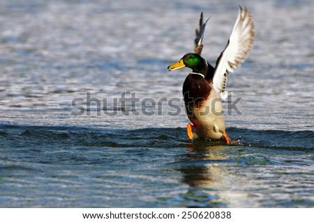 male mallard, duck in pound - stock photo