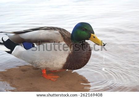 Male Mallard Duck In Water - stock photo