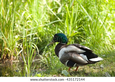 male Mallard ducks (Anas platyrhynchos) standing on the grass at the edge of the pond