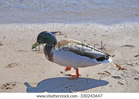 Male mallard walking on sandy beach on a sunny spring day in April, Stockholm, Sweden.