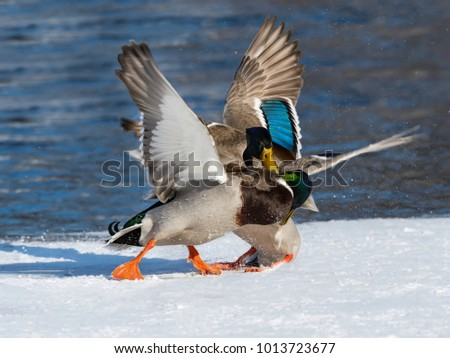 Male Mallards Fighting in Winter
