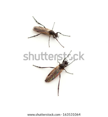 Male March Fly (Bibio longipes) - stock photo