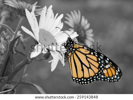 Male Monarch butterfly in summer garden; color spot on black and white - stock photo