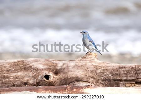 Male Mountain Bluebird in Vancouver Canada - stock photo