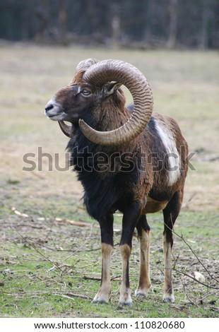 male mufflon - stock photo